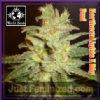 WOS Medical NL x Big Bud Fem 3 Marijuana Seeds